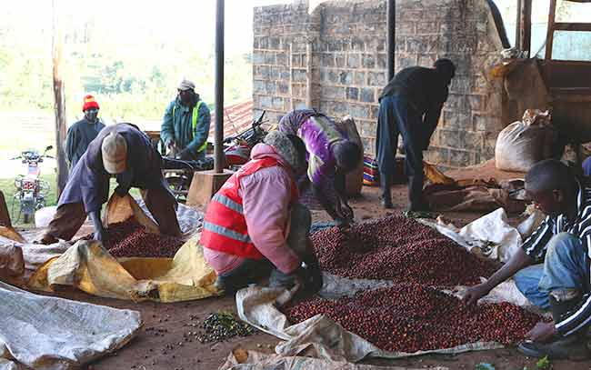 Coffee sorting at Kii Wetmill